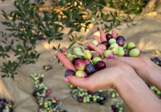 Tuscan Olive Harvest, Cooking, Castles & Wine!